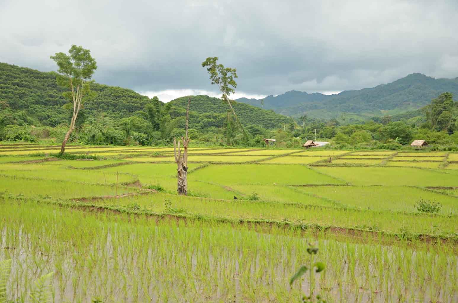 Campos de arroz. Trekking Luang Namtha