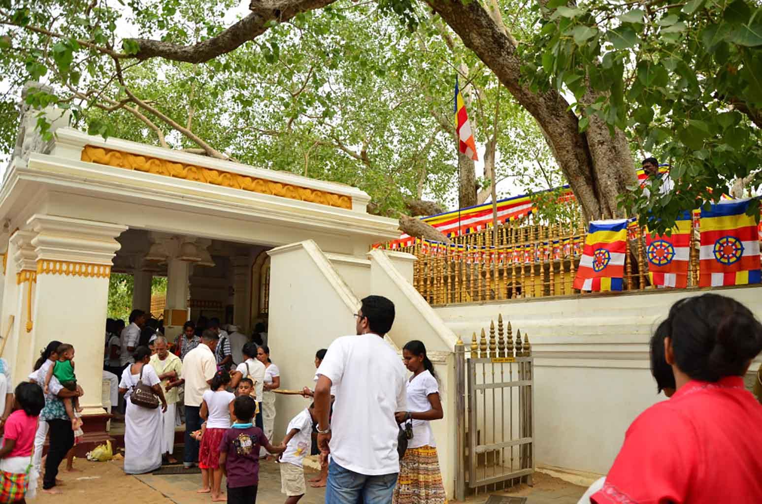 Sri Maha Bodhi. El árbol sagrado de Bodh es el árbol que se trajo de India hace más de 2000 años y bajo el cual Buda fue iluminado