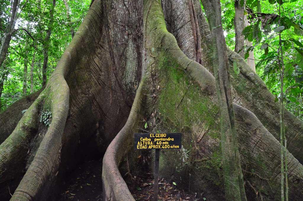 El ceibo, con una altura de 40 m y 400 años de edad