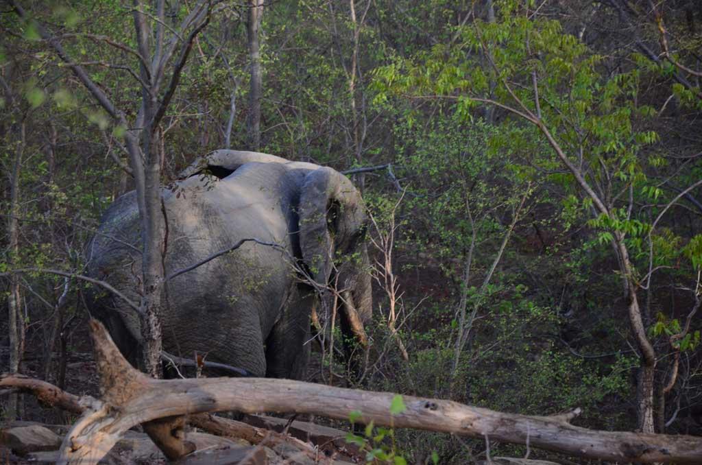 Elefante en el Parque Nacional de Mole mientras les seguíamos a pie