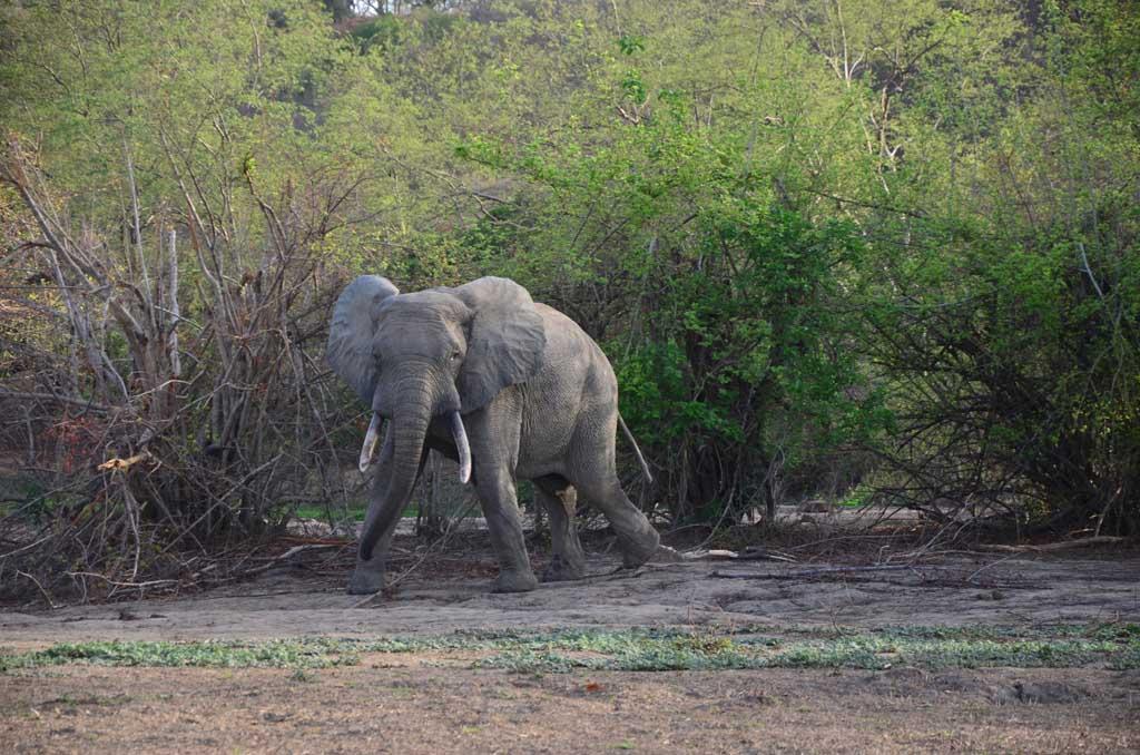 Elefante en el Parque Nacional de Mole rezagado y un poco amenazante...