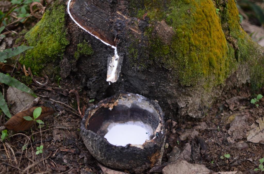 Extracción del latex... Aquí le llaman el condon tree...