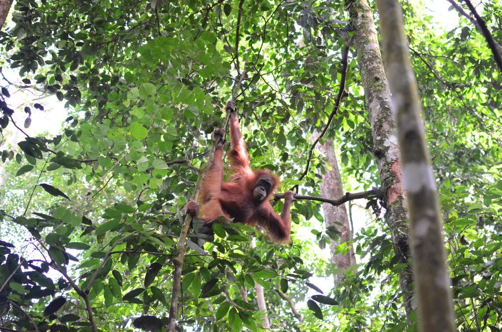 Orangután joven en Bukit Lawang