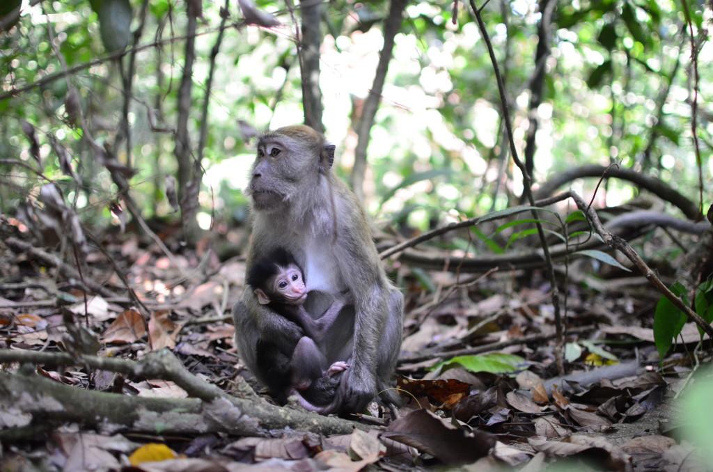 Babuinos en Bukit Lawang