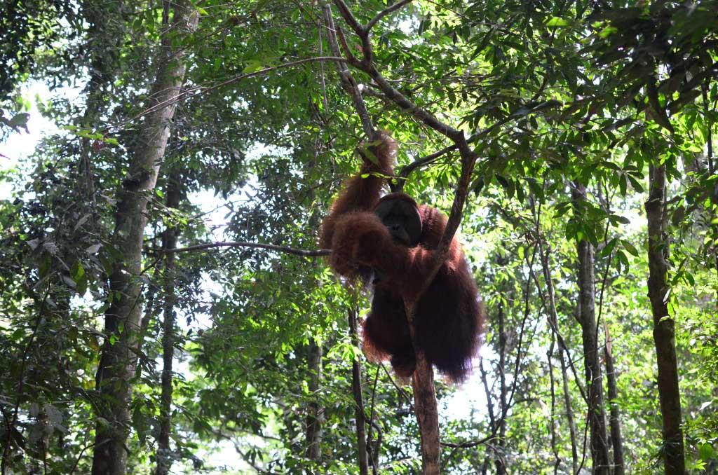 Orangután adulto en Bukit Lawang
