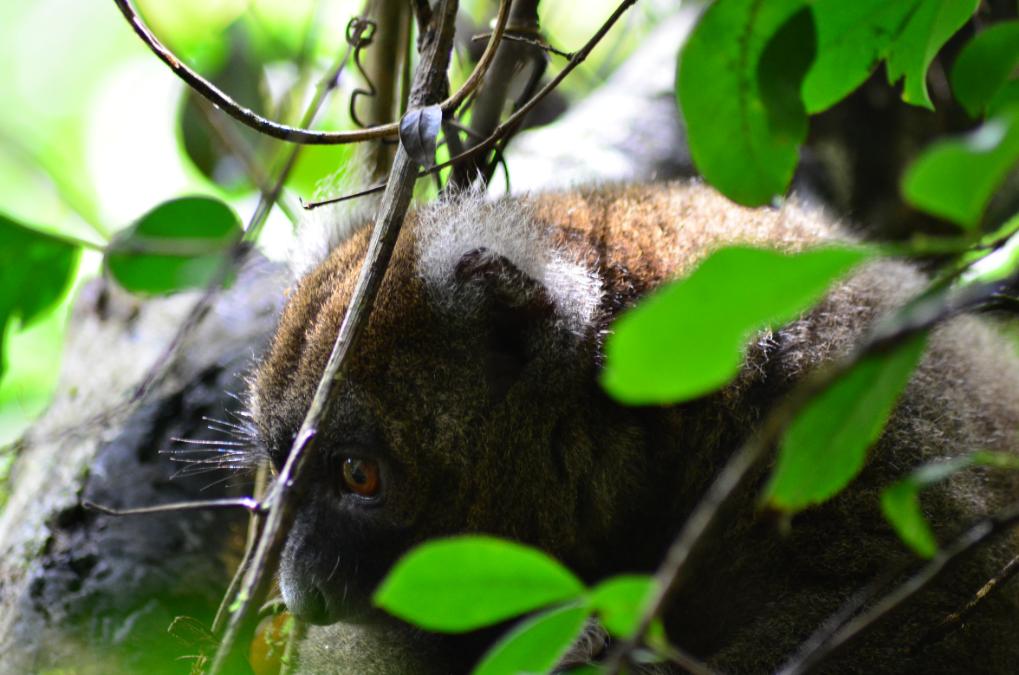 Lemur Golden Bamboo en Ranomafa