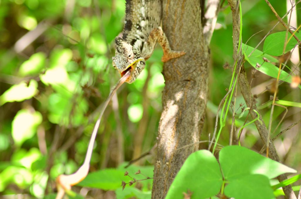 Camaleón cazando un insecto en la reserva de Anja, Madagascar