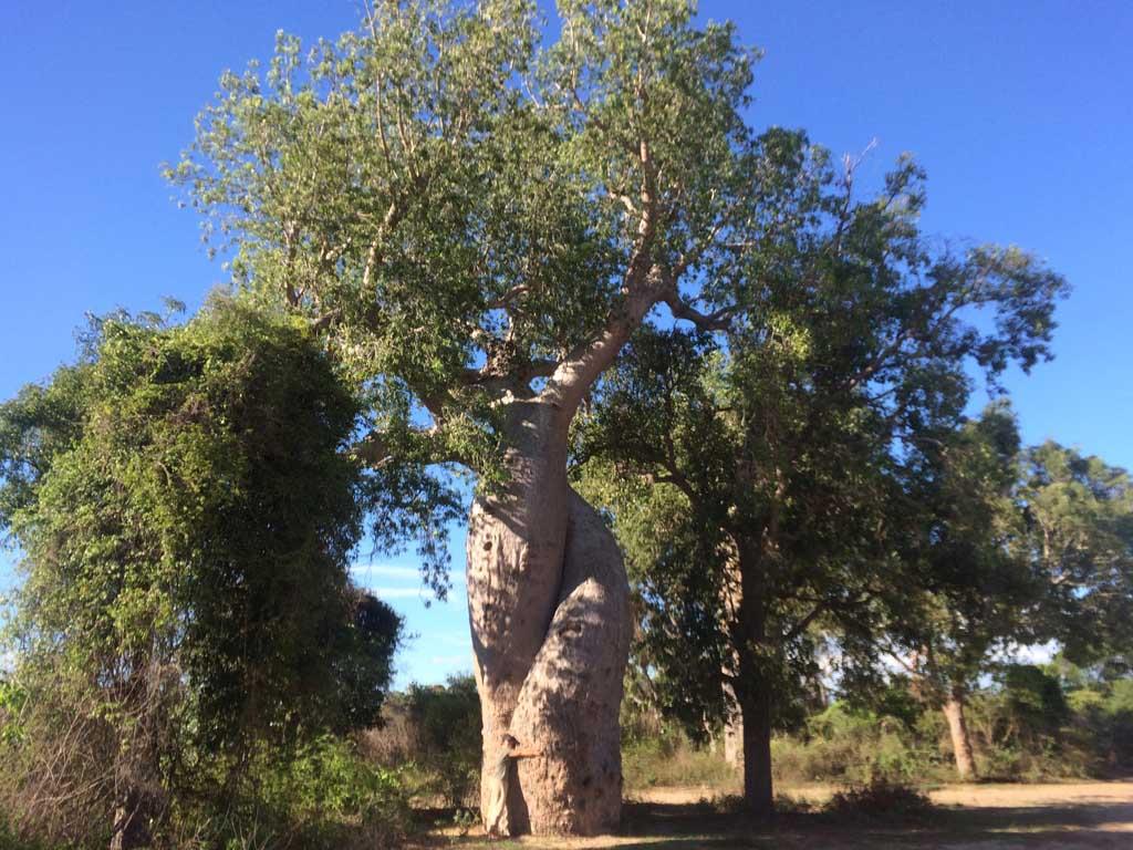 El baobab enamorado