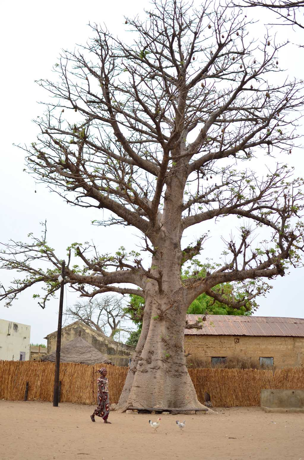 Baobab en Faoye, Senegal