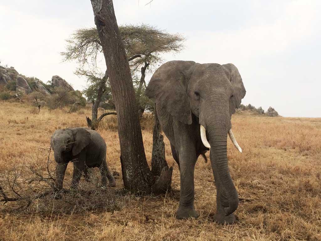 África, safari, Serengeti, elefante