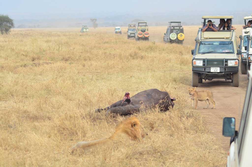 Un búfalo fue abatido y sirve de alimento a un grupo de leones, en medio de la carretera