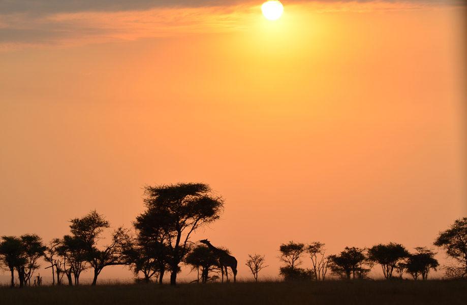 Amanece en el Serengueti mientras una jirafa come tranquila de las acacias