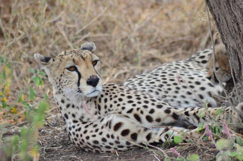 Una gueparda descansa con sus dos pequeños, sin perder la atención a su alrededor