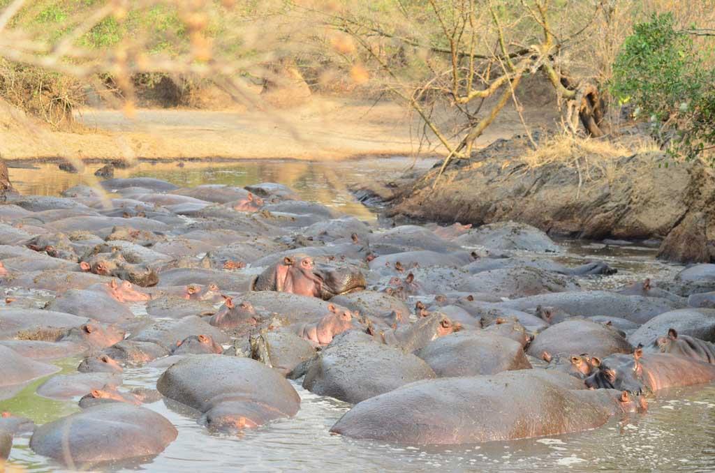 Hipopótamos descansando en el río tan pegados que no se pueden casi ni mover