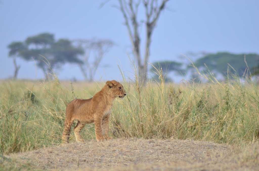 Cachorro de león vigilando la sabana