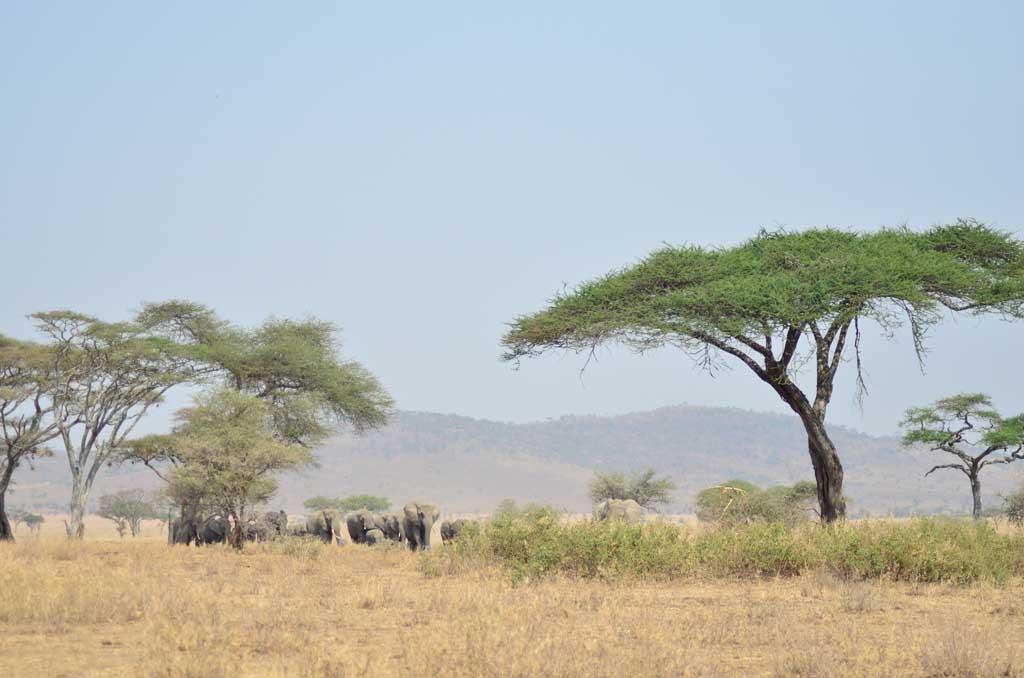 África, Tanzania, Serengueti, leones