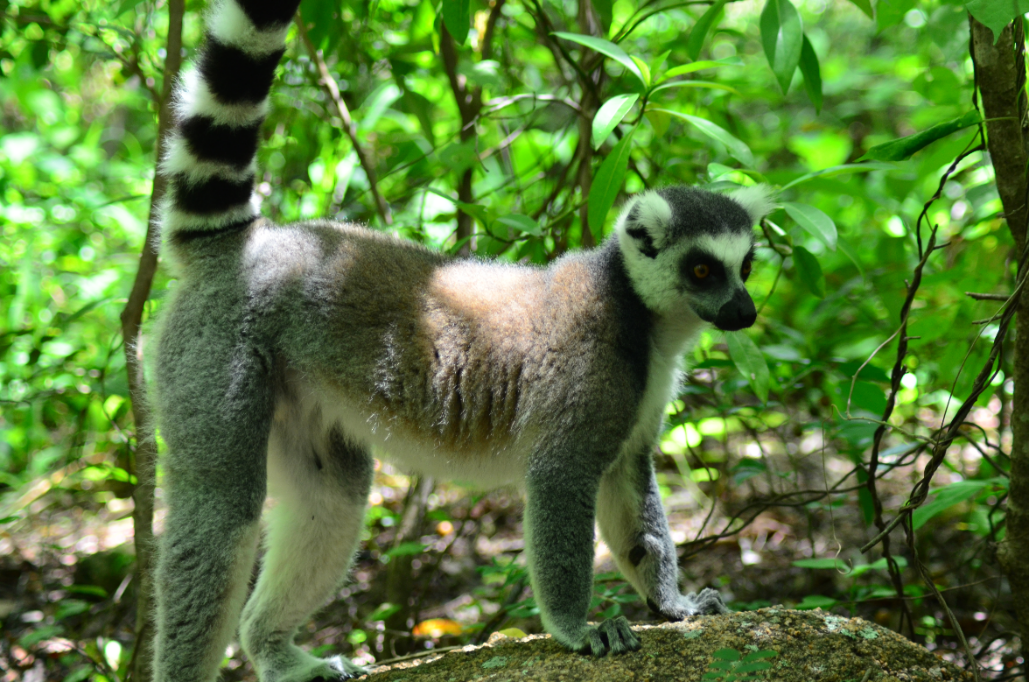 lemur Madagascar, reserva de Anja