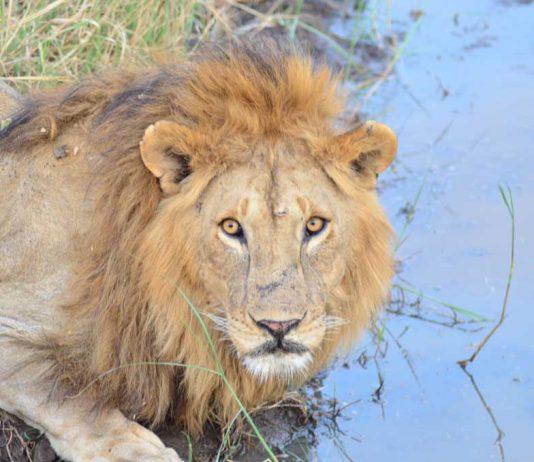 África, safari, Serengeti, león